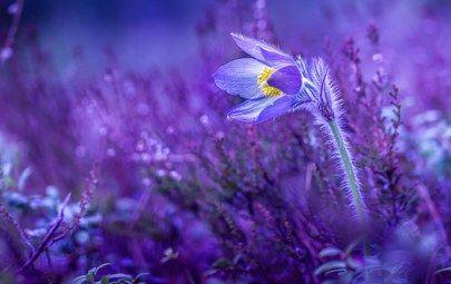 flower, macro photo theme Violet