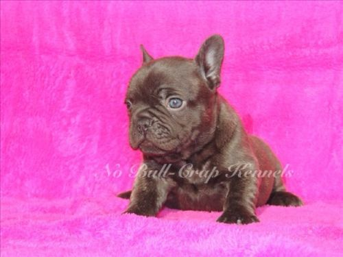 Dogs Puppies For Sale In Houston Ebay Classifieds Kijiji Page 1 French Bulldog Puppies Bulldog Bulldog Puppies