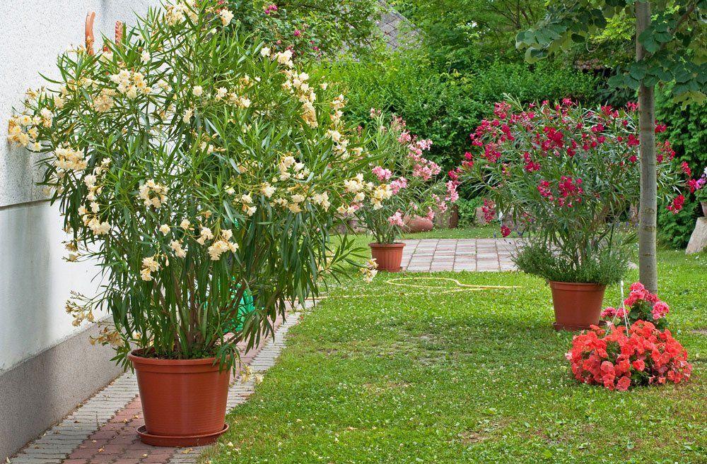oleander umtopfen tipps und anleitung oleander schneiden gro e pflanzen und pflanzen