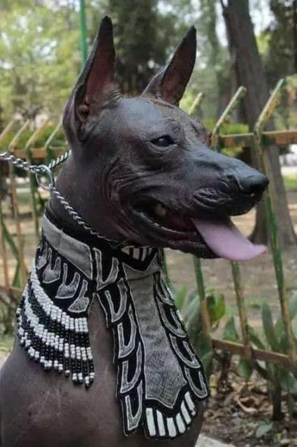 Xoloescuincle Perro Xoloitzcuintle Razas De Perros Raros Perros Raros