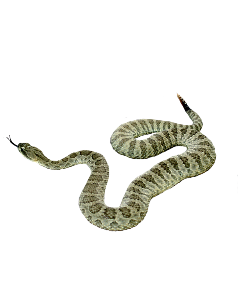 Pin By Peter On Aesthetic Pngs Snake Png Photo Manipulation