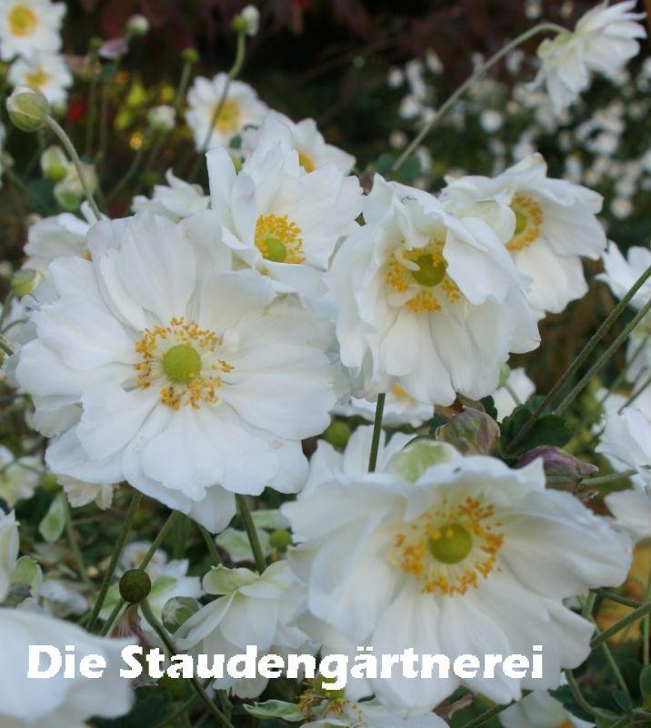 Hortensien Im Schatten anemone a whirlwind anemone hortensien und schatten