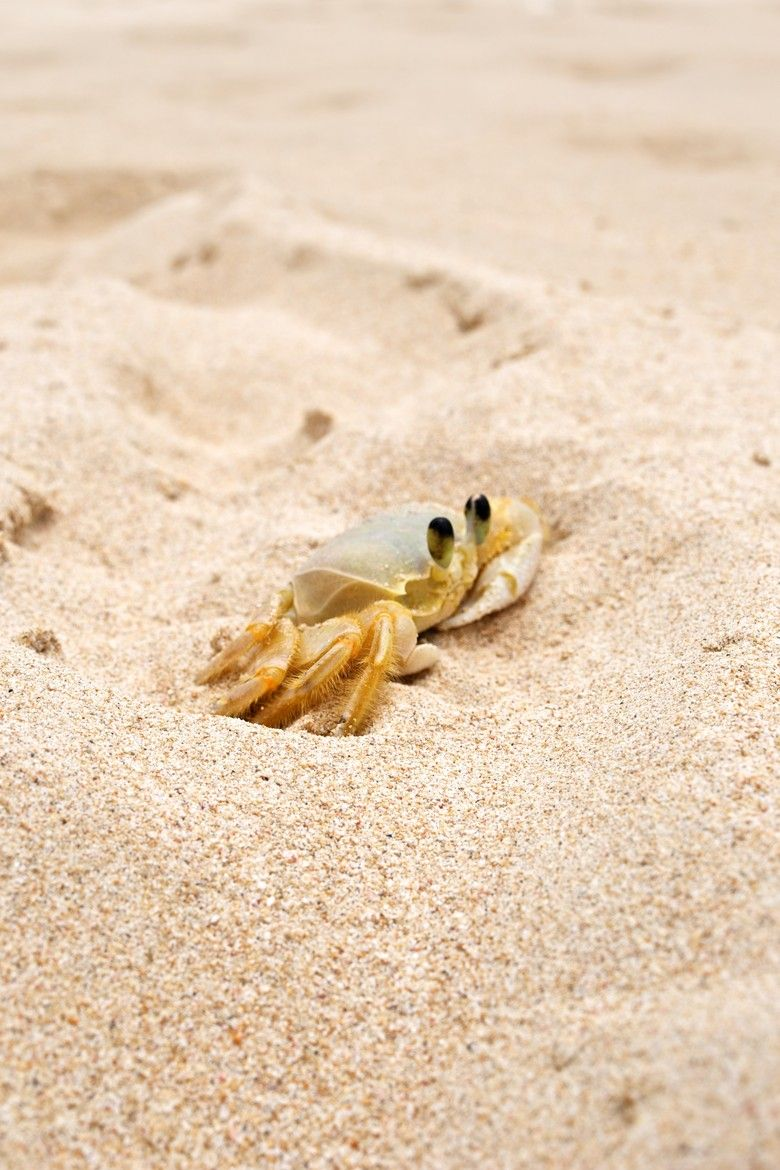Crab in the Sand - Barbados