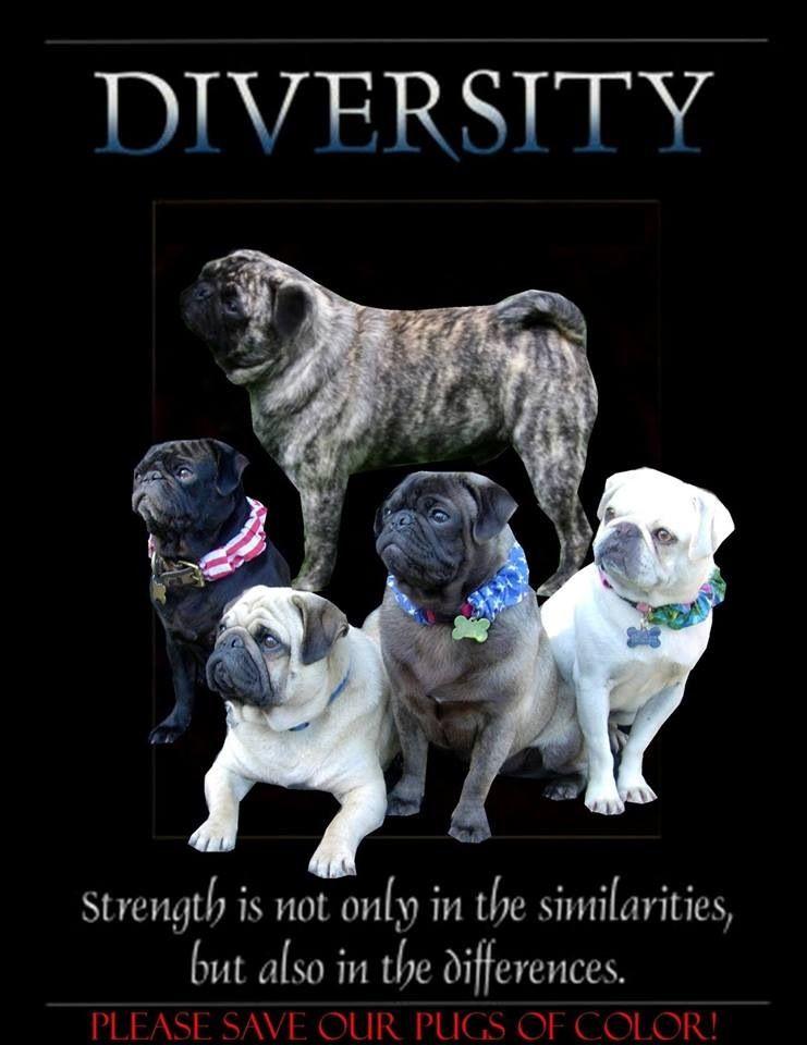 All Shades Of Pugs Cute Pugs Pugs Brindle Pug