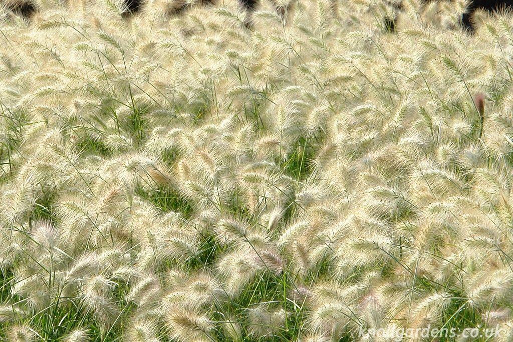 Common Ornamental Grasses Pennisetum villosum garden ornamental grasses pennisetum villosum workwithnaturefo