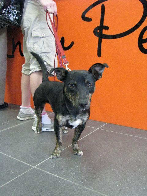 G Day Weknowpets Goulburn Terrier