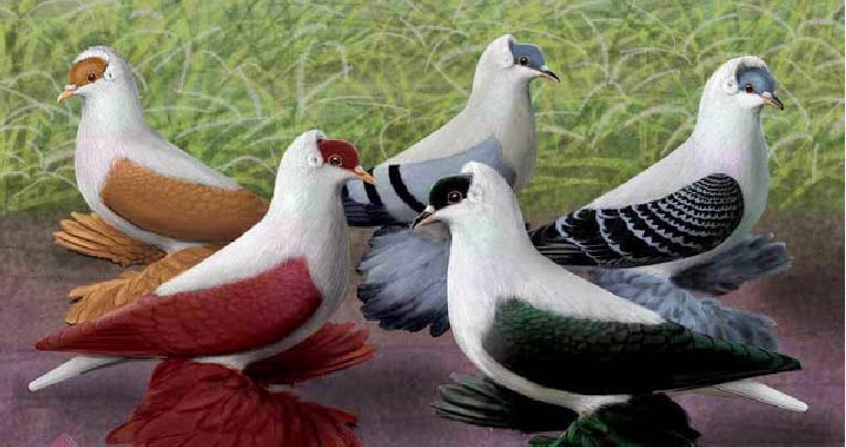 أجمل طيور الحمام في العالم سبحان الخالق Bird Art Pigeon Beautiful Birds