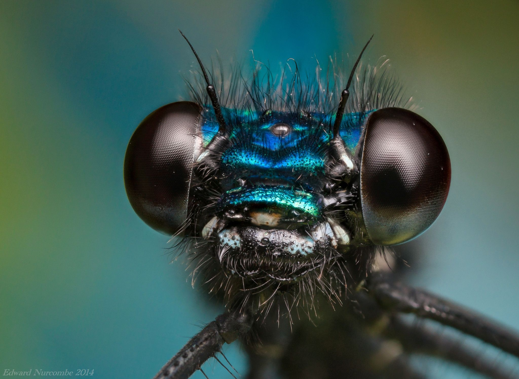 A  23 image handheld focus stack of a Banded Demoiselle.