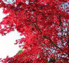 5 Perfect Trees For Canberra Ornamental Trees Japanese Red Maple Tree