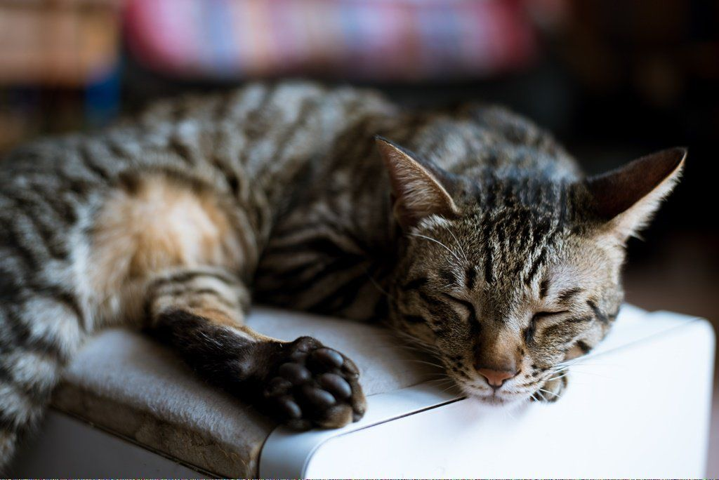 Can Cats Drink Milk Whencatsdie Info 927246824 Cat Adoption Grumpy Cat Humor Dog Cat