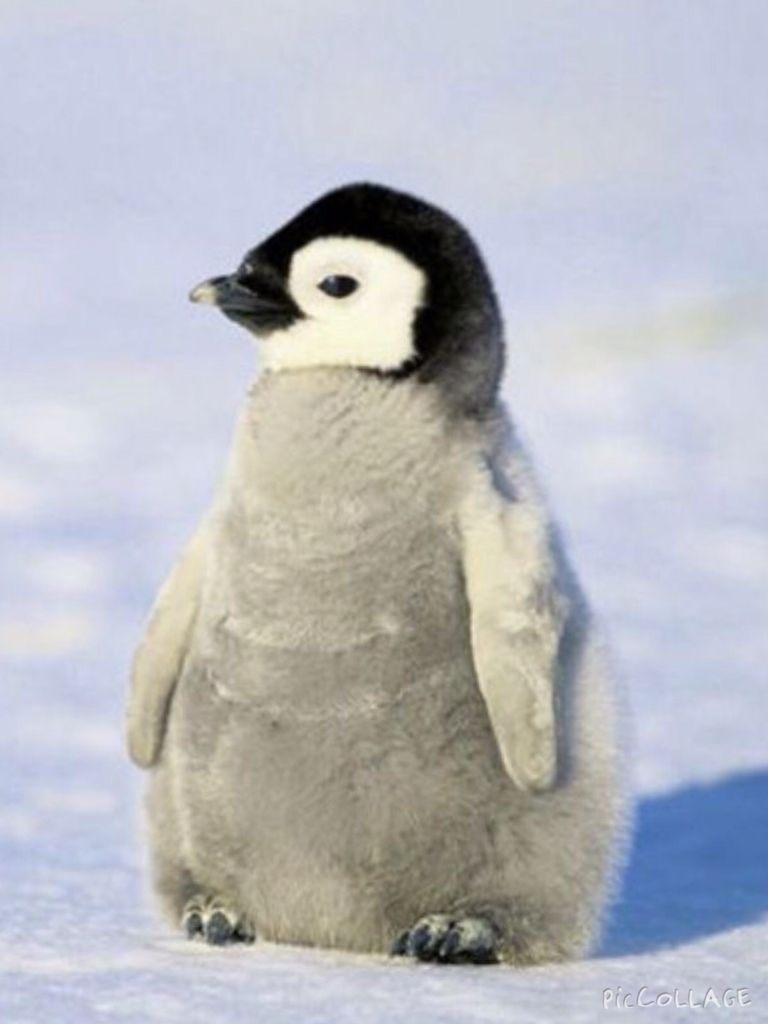 This Is A Cute Baby Penguin Penguin Animals Polar