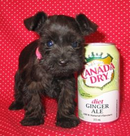 Micro Teacup Schnauzer Google Search Teacup Schnauzer Schnauzer Puppy Teacup Puppies