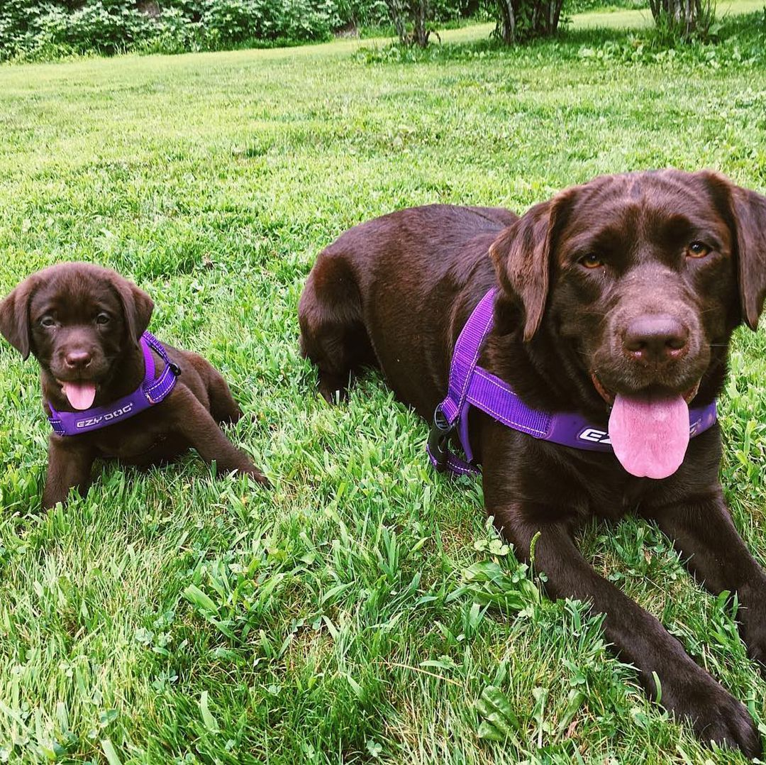 Twinning In Their Ezydog Quick Fit Harness Aren T They The Cutest