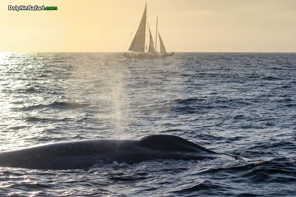 Blue Whale at sunset during the Tall Ships Festival in Dana Point, CA. Photo by Steve Plantz | www.dolphinsafari.com |  #bluewhale #whalewatching #danapoint #festival #tallship #tallshipsfestival #wildlife #ocean #outdoors #thingstodo #california #socal #autumn #sunset #dolphinsafari