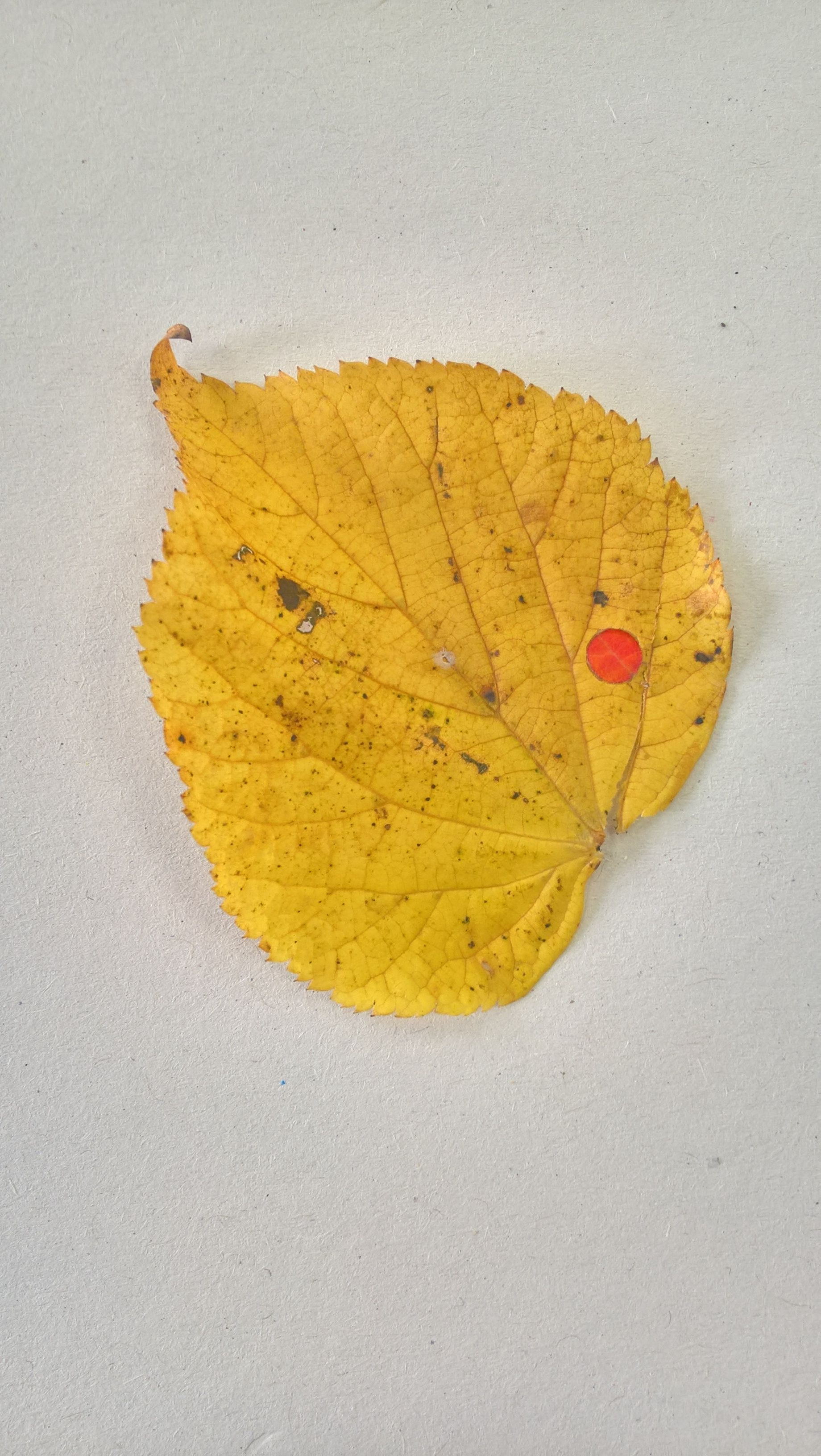 Yellow Leaf Single Red Dot