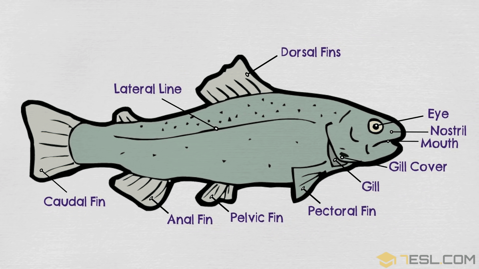 Parts Of A Fish Useful Fish Anatomy With Pictures With