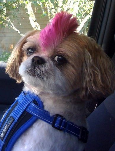 how to give a dog a mohawk