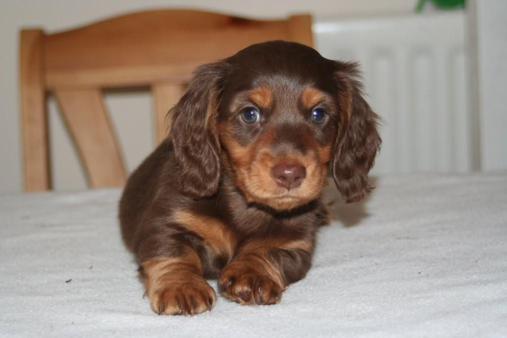 Dachshund Puppies Long Haired Female Female Purebred Miniature