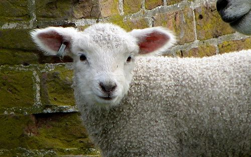 Leicester Longwool lambs in Colonial Williamsburg