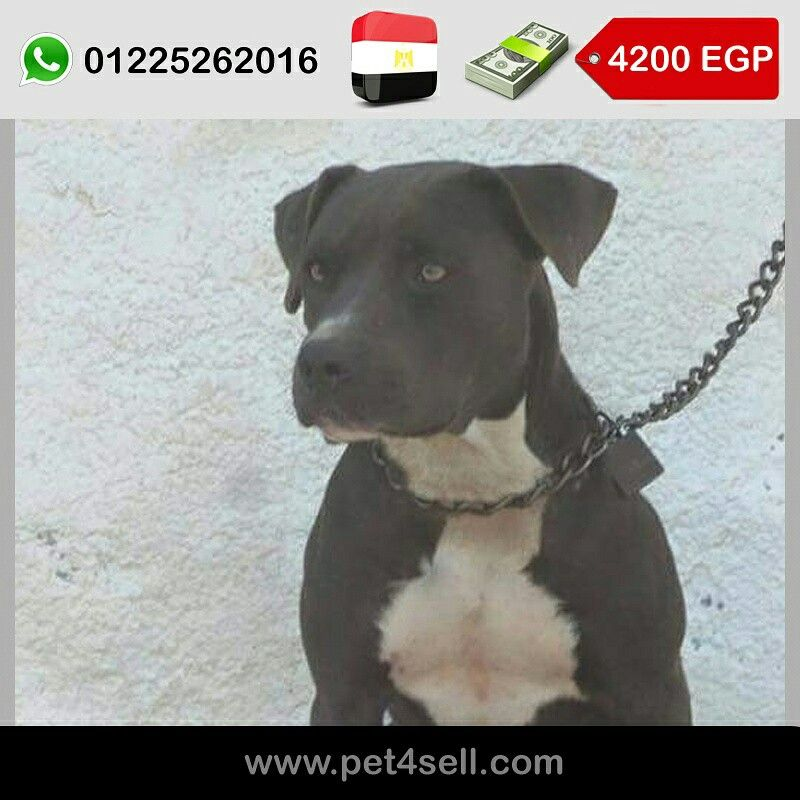 مصر نتاية بيتبول تقليب عالى بيور عمر 9 شهور سعر 4200 جنية والسعر قابل للتفاوض Pet4sell Dogs Pitbulls Animals