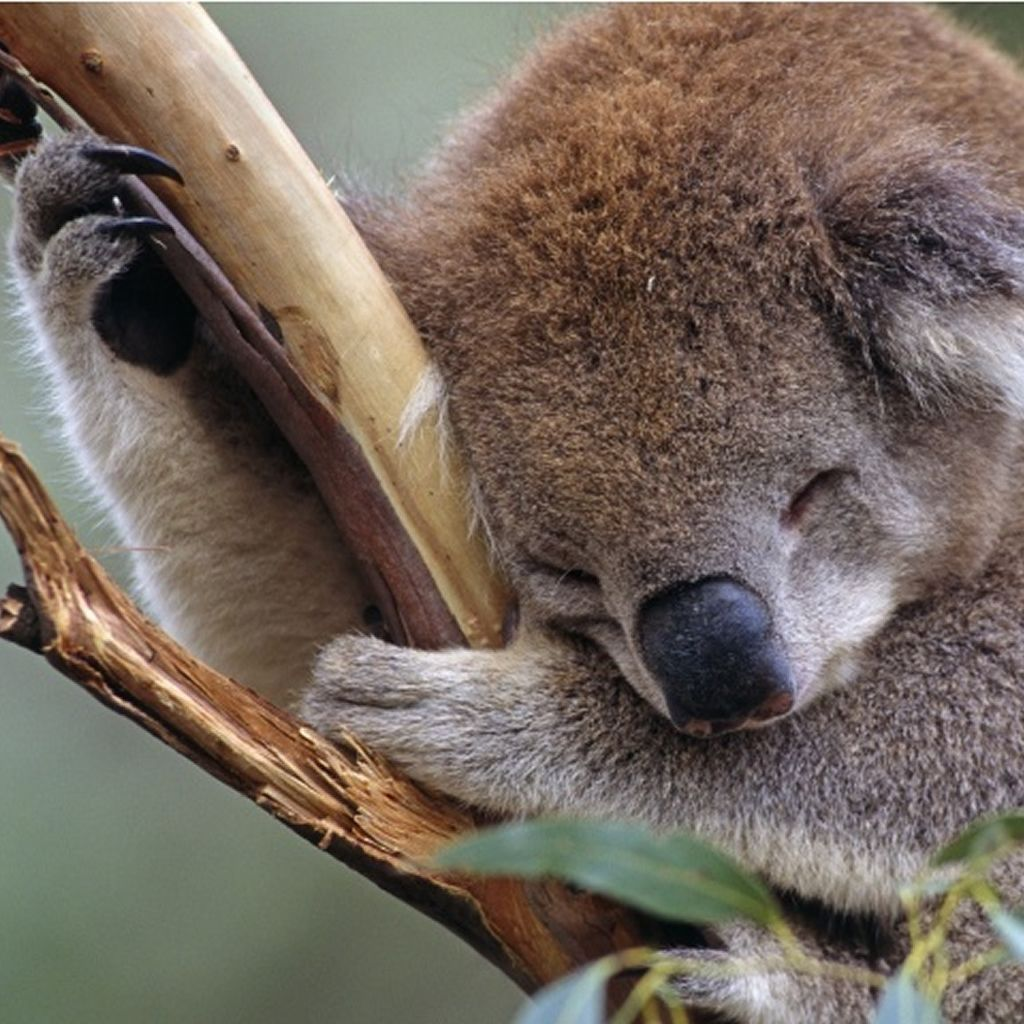 Sleepy Cute Koala Ipad Wallpaper Download Iphone Wallpapers Ipad Wallpapers One Stop Download Bloemen Aquarel Natuur