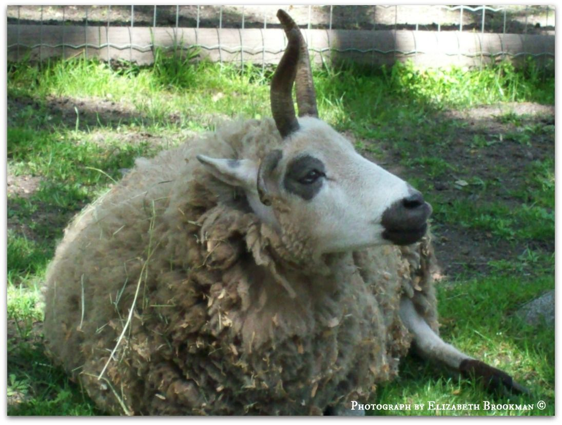 sheep (this one is not in the wild, it is at the Beacon Hill Park zoo).