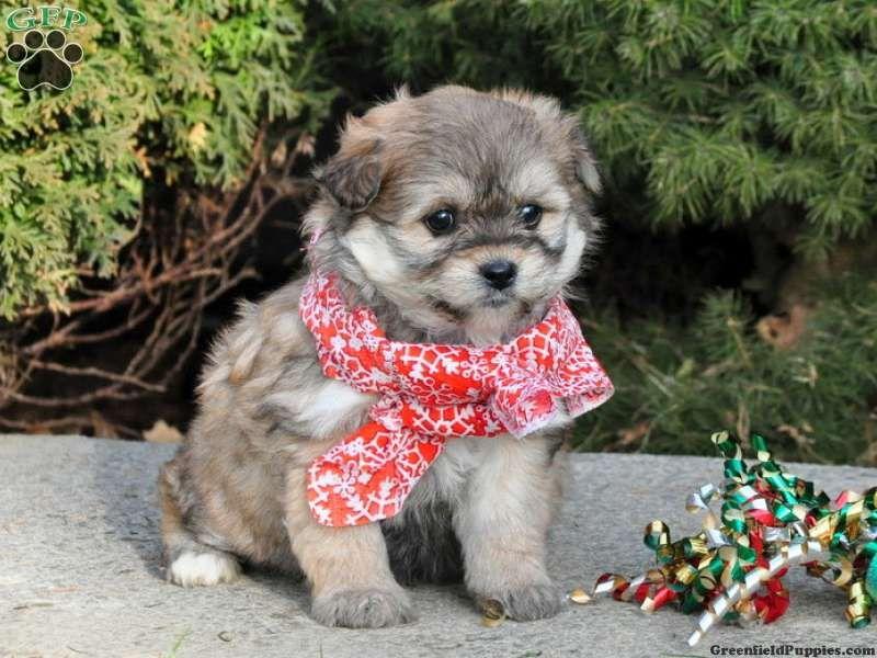 Lanty bichonaranian puppy for sale from paradise pa