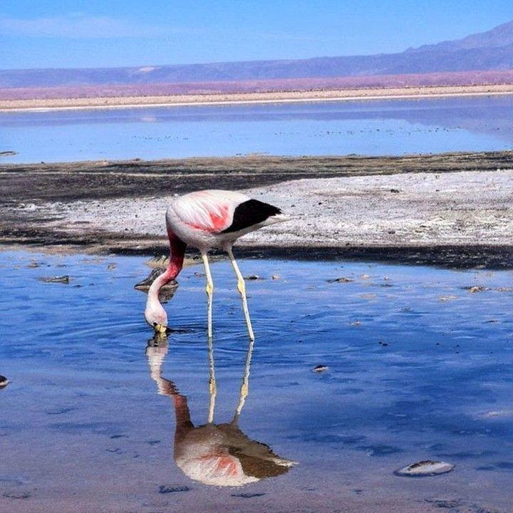 La Laguna Chaxa es hogar de diversas comunidades de flamencos. Aquí vemos a uno de ellos disfrutando la tranquilidad y observando su propio reflejo.  Foto de @wanderlustchloe  #Chile #Instachile #SalardeAtacama #Flamencos #LagunaChaxa by marcachile