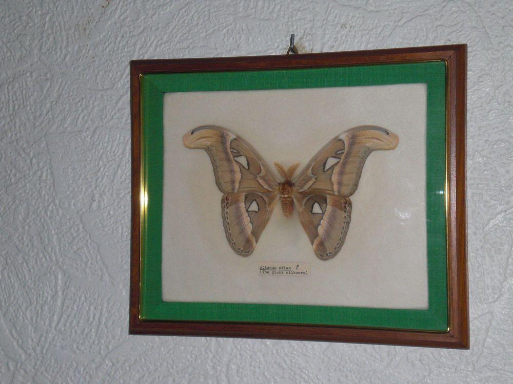 Riesenseidenspinner Schmetterling Attacus Atlas Giant Silkworm Butterfly Moth Schmetterling Ebay Wolle Kaufen