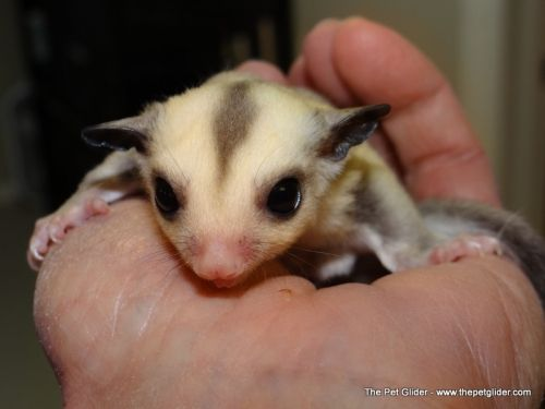 Pin On Adorable Sugar Gliders