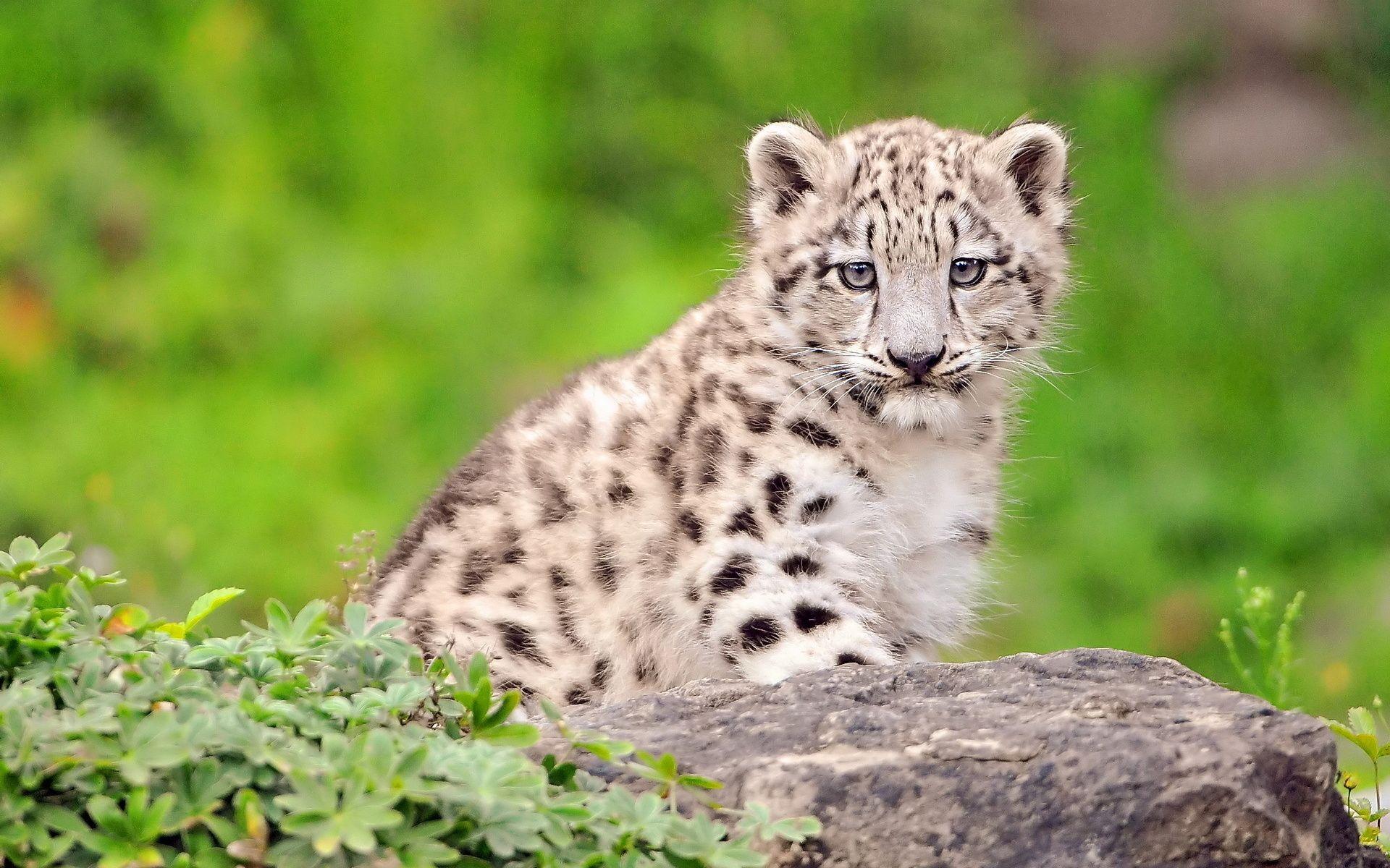 Newborn Snow Leopard Cubs