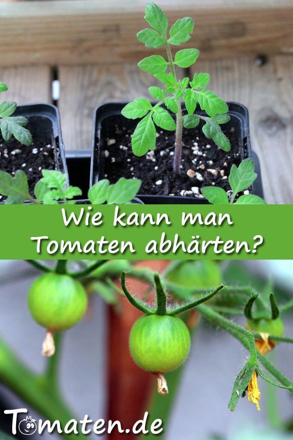 Ab Wann Kann Man Tomaten Pflanzen