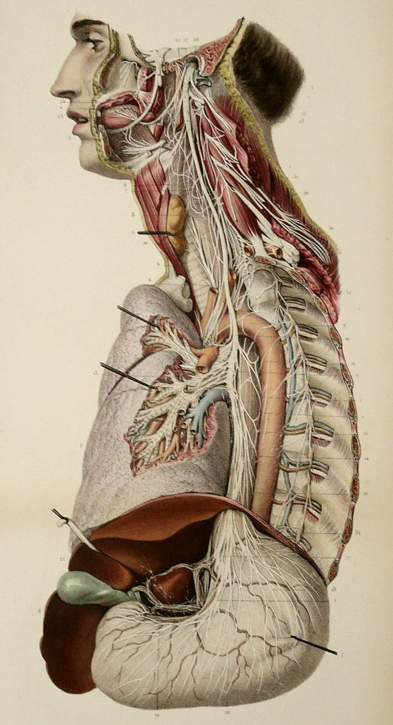 1867 HUMAN ANATOMY, antique lithograph. NEUROLOGY. Human Nerves. Spinal Nerve…