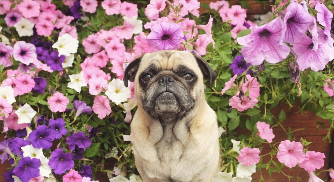 Pin By Alex Quesada On Pugs Pug Love Pugs Animals
