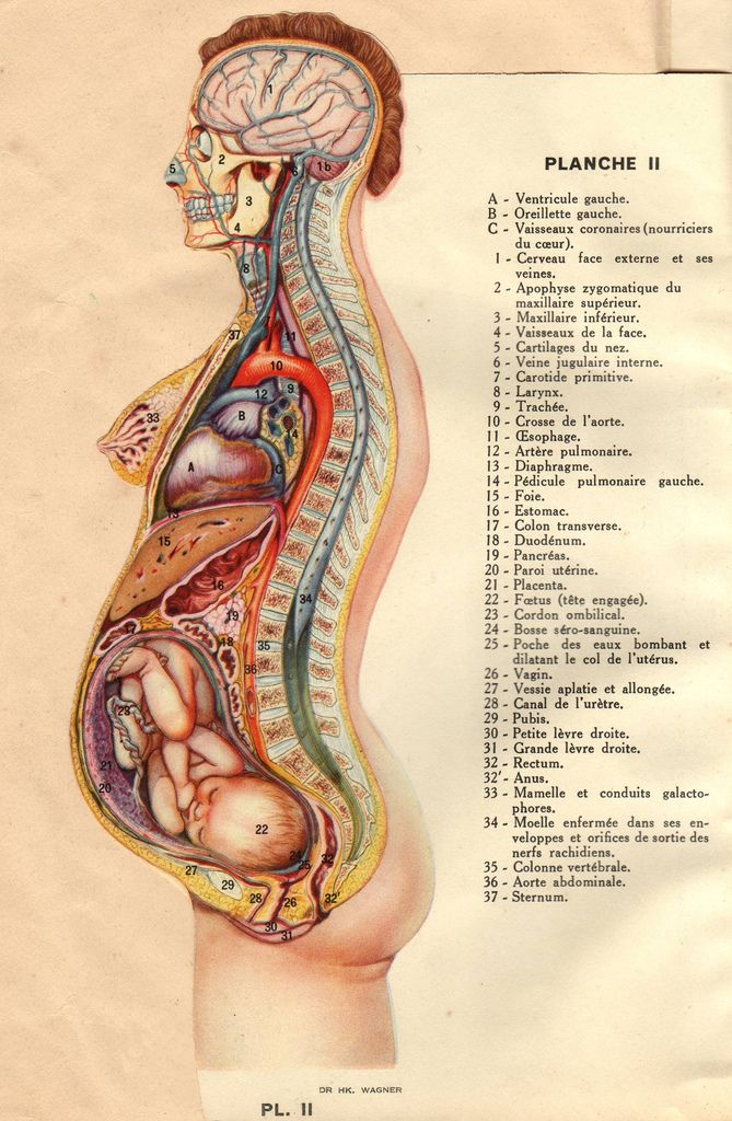 anatomie (1937) | Anatomy, Child and Woman