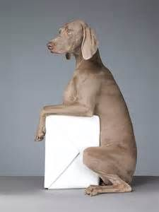 William Wegman Poster We Ship Worldwide Using Fade Resistant Inks And Are Finished To The Highest Standards