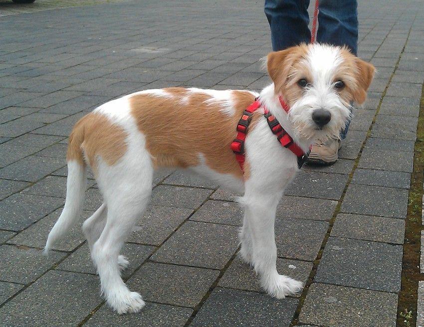 Kromfohrlander Jack Russell Terrier Terrier Hunde
