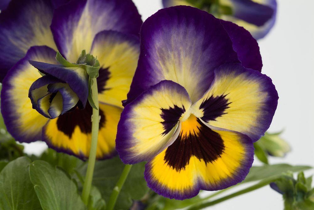 Bulk Flower Seeds Pansy Dynamite 500 Bulk Seeds With Images Pansies Flowers Viola Flower Flower Seeds