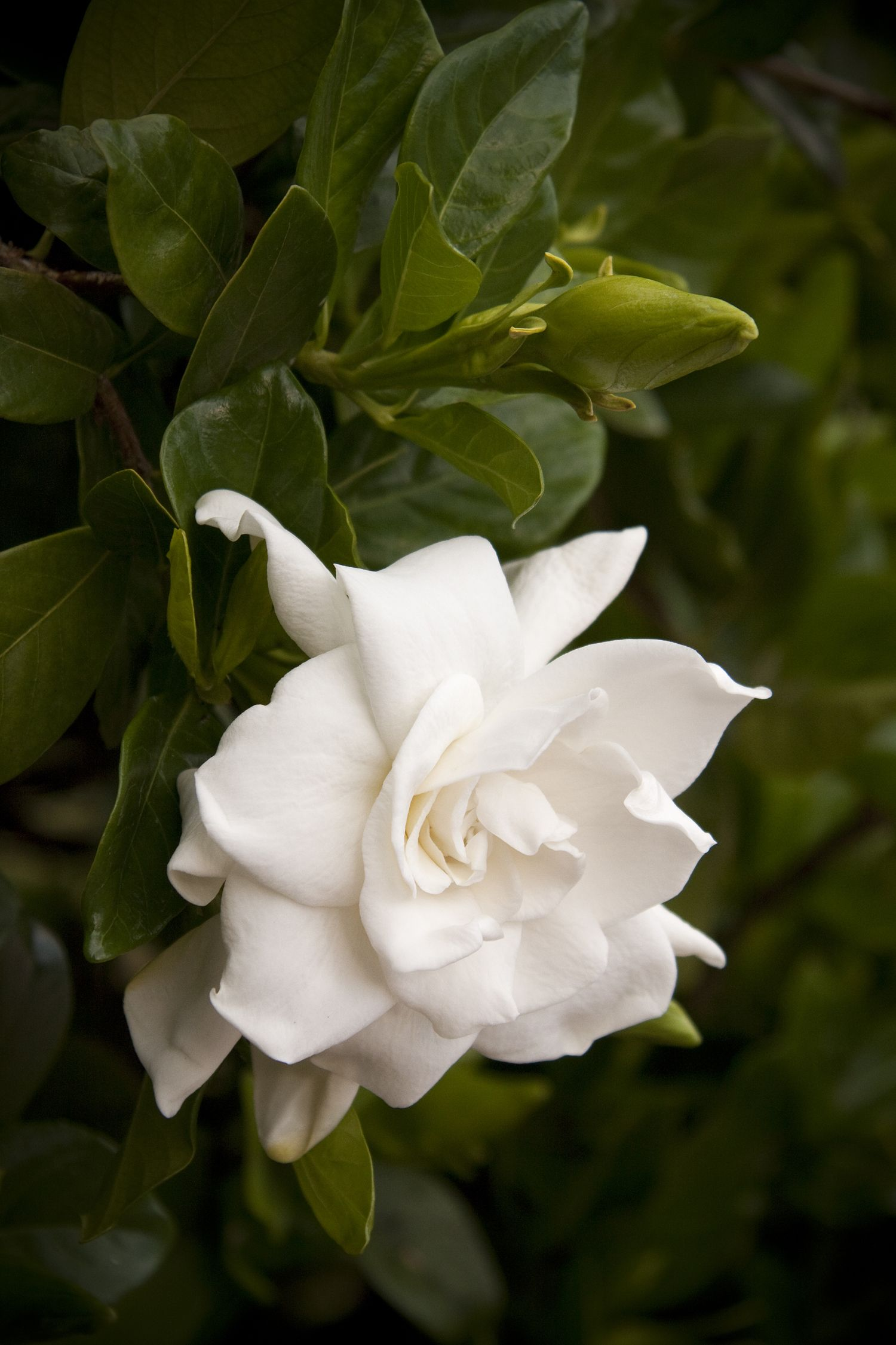 Picture of Live Everblooming Gardenia aka Gardenia jasm. 'Vetchii' Std Plant Fit 5 Gallon Pot