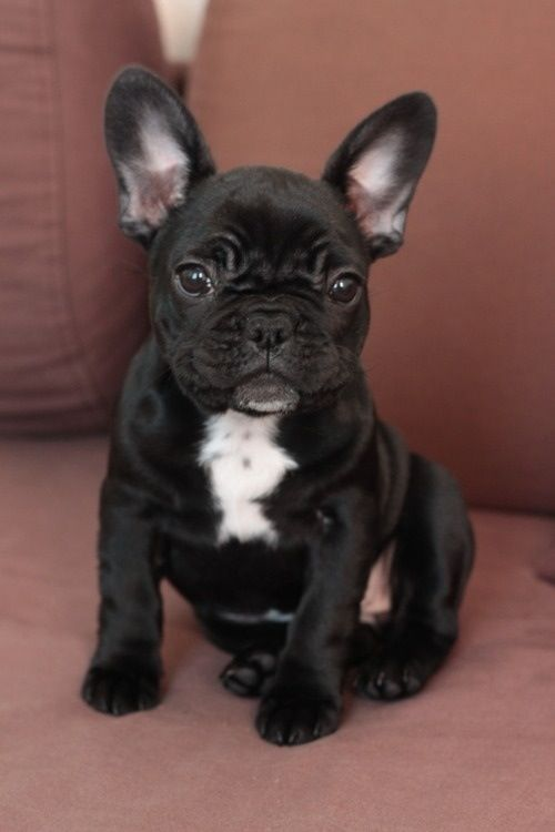 Pin By Holly Matlack On Frenchie Bulldog Puppies Bulldog
