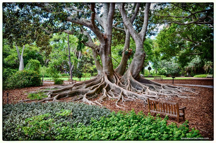 Banyan Tree On The Grounds Of The Marie Selby Botanical Gardens In Sarasota Florida Nature Tree Tree Banyan Tree