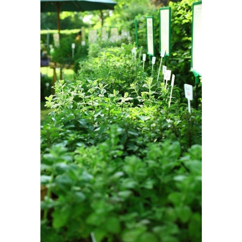 Kolekcia 6 byliniek - rozmarín, šalvia, bazalka, mäta, oregáno a lípia sladká, pack 6 ks