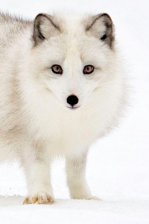 arctic fox | des animaux blanc | Pinterest | Zorro ártico, El fuerte ...