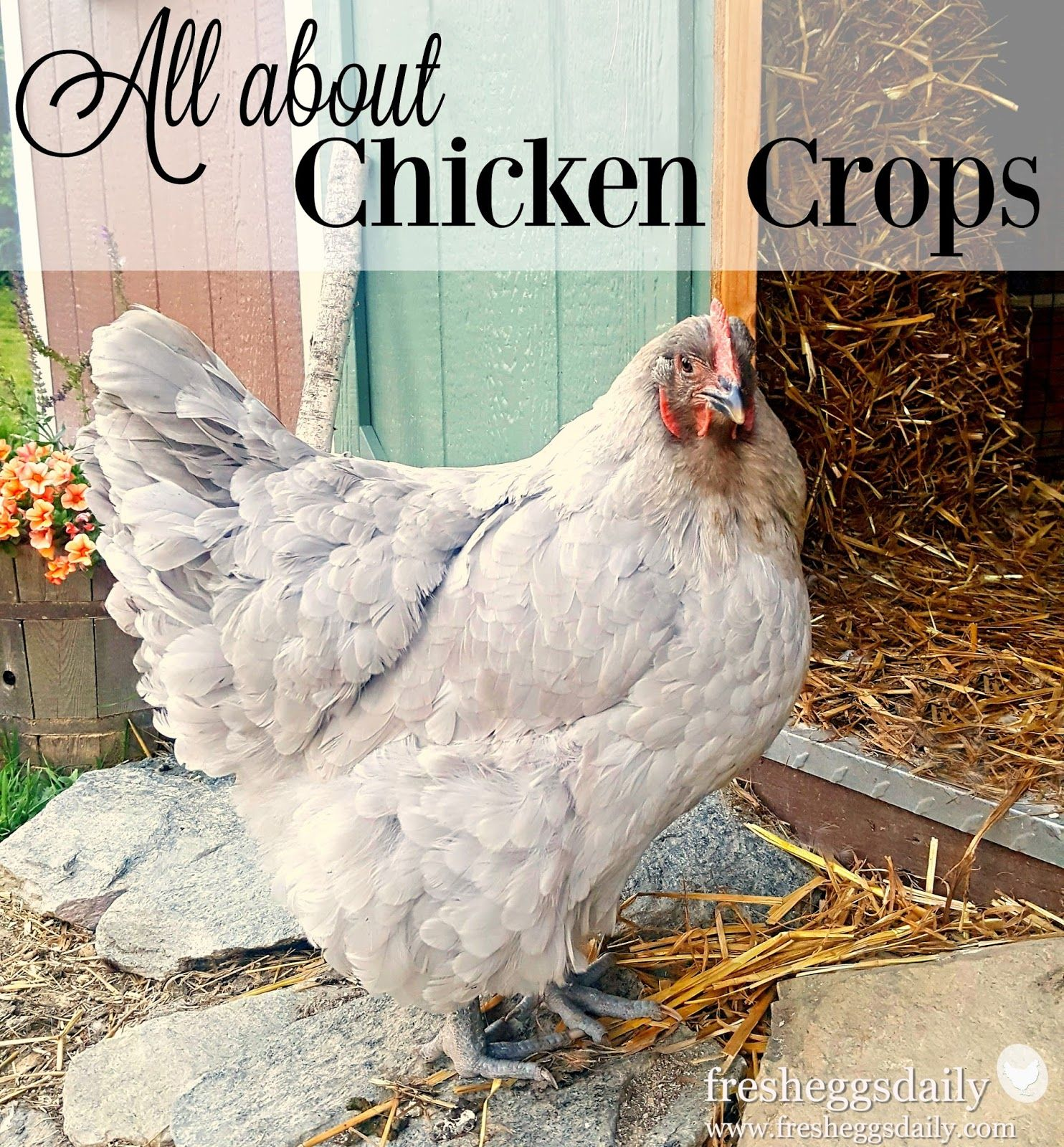 All about Chicken Crops and Poultry Digestion Sour Impacted and