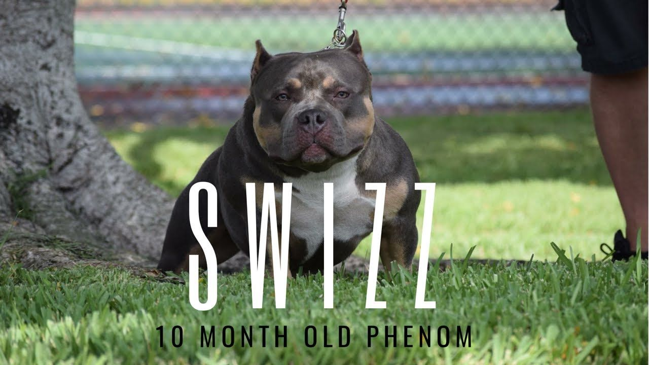 Female Pocket Bully Phenom 10 Month Old Super Swizz Youtube American Bully Kennels Pocket Bully American Bully