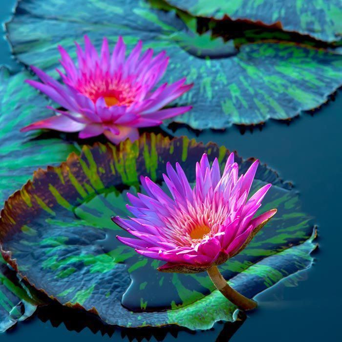 water lilies lotus water lily pinterest fleurs fleur jardin et n nuphar. Black Bedroom Furniture Sets. Home Design Ideas