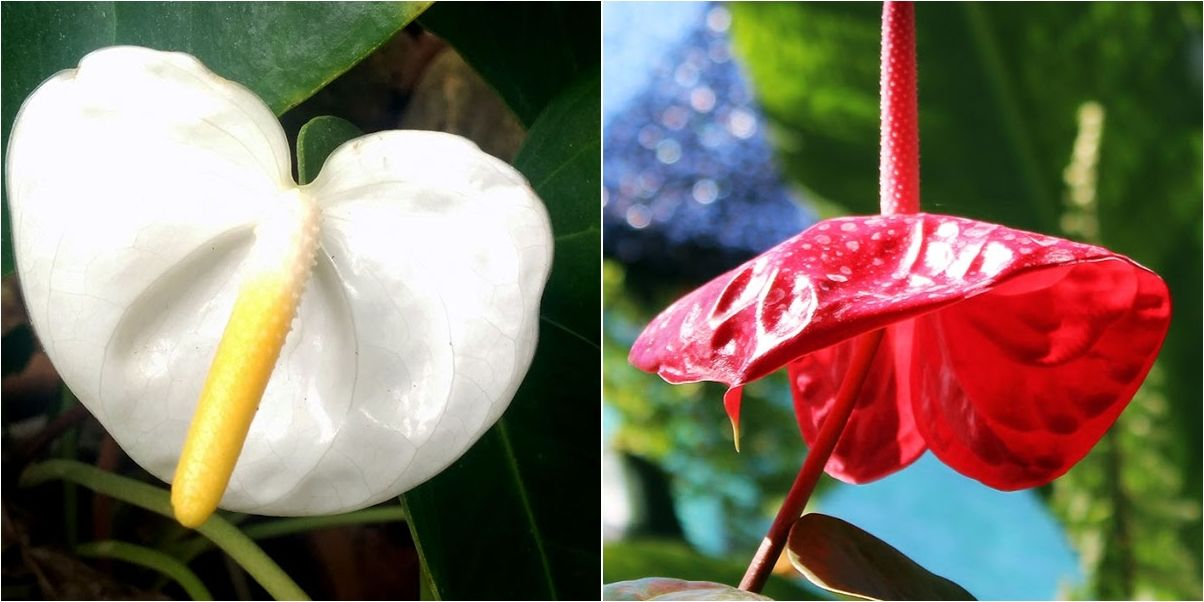 Manual de naturaleza tropical para el cultivo de anturios for Jardines de anturios