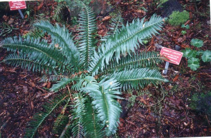 Plant photo of: Polystichum munitum