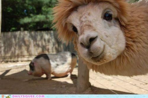 Llama Photobomb. I can't help but laugh.