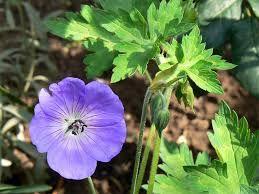 Image result for geranium pratense